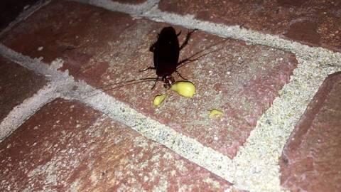 Cockroach Eliminator Gel